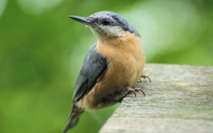 A nuthatch by Rajmund67