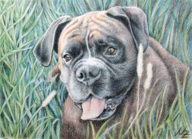 Boxer Yosi by ArtsandDogs