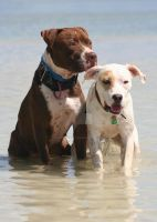 Playful Pitbulls by CreativeConceptions