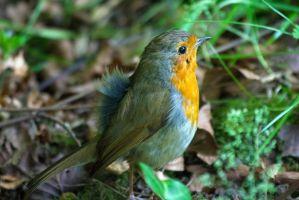 Raising a family takes it's toll on a robin by Steve-FraserUK