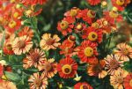 Helenium by hickis