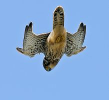 Kestrel hovering 1a by pixellence2