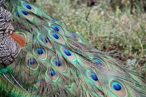 Peacock6 by Dewheart85