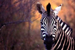 Zebra by catman-suha