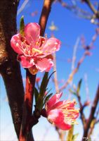 peach blossoms. by UsoIsLove