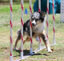 AKC Agility Trial 2 by Deliquesce-Flux