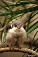 Pygmy Fluffball by meihua
