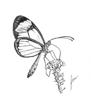 Glasswing butterfly by JasmineCollinsArt