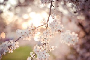 Cherry Blossoms II by MiriamPeuser