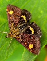 Pyrausta Purpuralis by iriscup