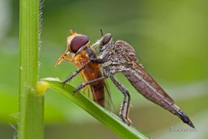 Robberfly... Hoverfly by melvynyeo