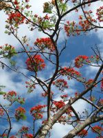 Poinciana Sky by thesilentphoenix89