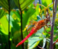 One Dakine Red DragonFly by WayfaringPuma