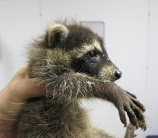 Last Look at Last Year's Raccoons 8b by Windthin