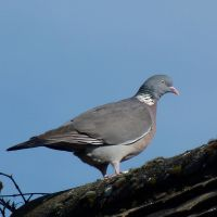 Pigeon on Roof by illusiveexistence