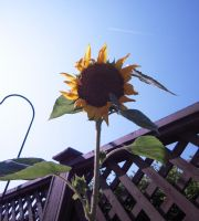 Sunflower Stock 3 by SimplyBackgrounds