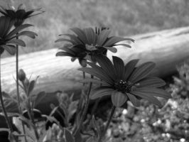 Black and white flower by shaylee-2