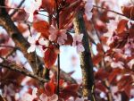 Plum Blossoms 2 by XxSilverOwl13xX