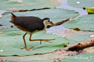 White breasted Waterhen by kaush