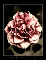 Ageing Red Rose by Zamolxes