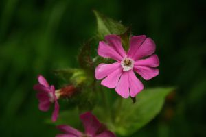 Red campion by Criosdan