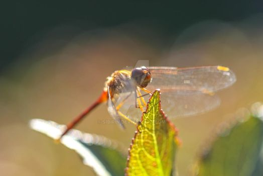 Dragonfly Wings by Sibirin