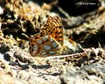 Kleine Plermutterfalter/Queen of Spain fritillary3 by bluesgrass