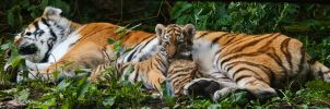 tiger baby panorama by miezbiez