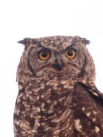 Eagle Owl by At0micDrag0n