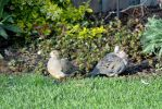 Doves in Love by Dr-Czuk