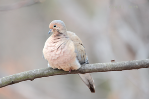 Mourning Dove 16 by Gerryanimator