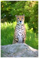 Cheetah by Crank0