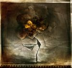 Rose by kubicki