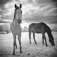 Two Horses Infrared by MichiLauke