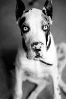The Greatest Dane by hhphoto