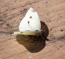 Cabbage Moth Stock by CNStock
