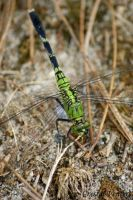 Female Eastern Pondhawk by poetcrystaldawn