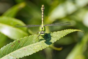 Funny green dragonfly by JoeGP