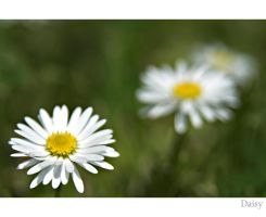 Daisy 0.1 by DL-Photography