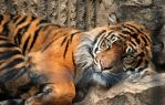 Sleeping Tiger Wakes by JeweledFaith