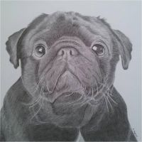 Pug drawing by megh95