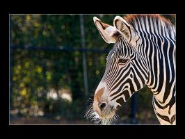 Zebra by acojon