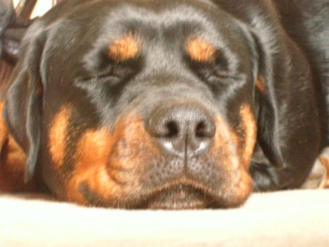 Sleepy Rotty. by Jacob-Photography