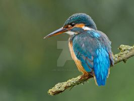 Waiting  -Common Kingfisher by Jamie-MacArthur