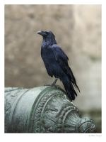 Raven at the Tower of London by sargas