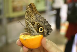Butterfly on orange by wolfphotography