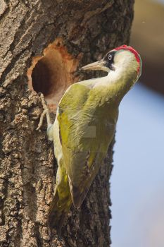 Should have gone to Ikea - Green Woodpecker by Jamie-MacArthur