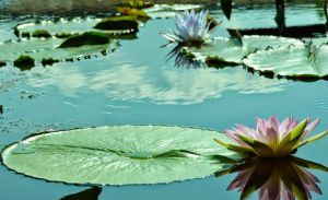 water lilies .i by raven327