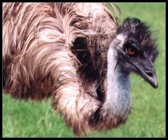 Attack of the Emus by jezebel