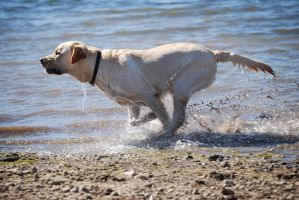Labrador Retriever 2 by xxtgxxstock